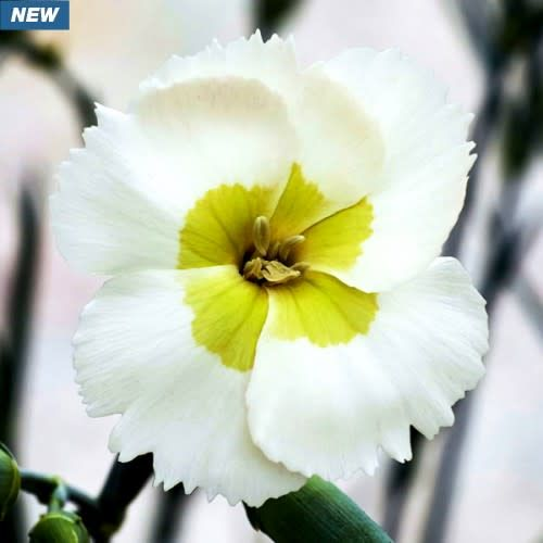 none Dianthus American Pie Key Lime, #1