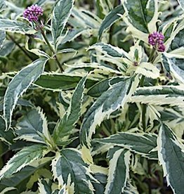 New Eupatorium fortunei Pink Frost, Joe Pye Weed variegated, #1