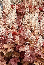 New Heucherella Honey Rose Foamy Bells, Honey Rose, #1