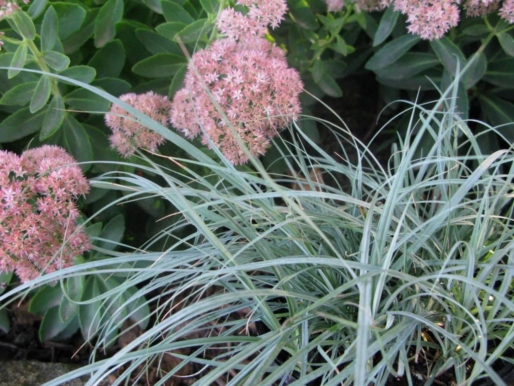 Carex Blue Zinger Grass - Ornamental Sedge, Blue Zinger, #1