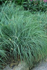 Carex Blue Zinger Grass - Ornamental Sedge, Blue Zinger, #1