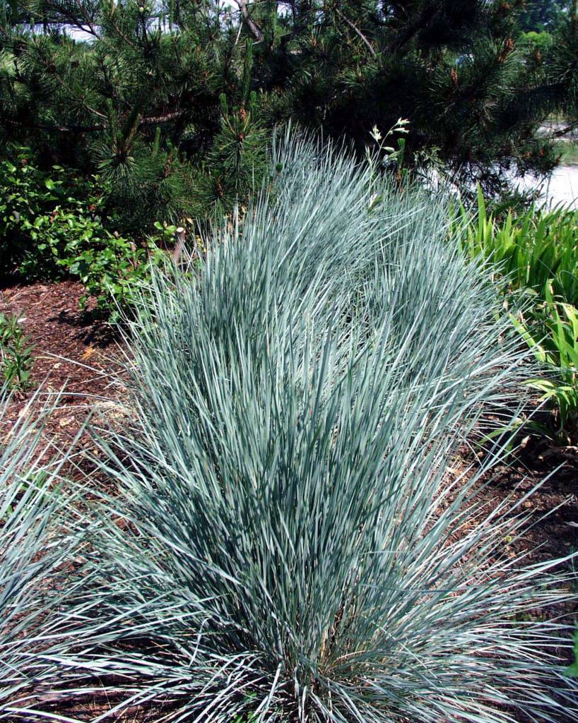 Helictotrichon Sapphire Grass - Ornamental Blue Oat, Sapphire, #1