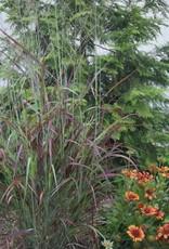 New Panicum virgatum Ruby Ribbons Grass - Ornamental Switch, Ruby Ribbons, #1