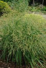 - Panicum virgatum Cape Breeze, Grass - Ornamental Switch, Cape Breeze #1
