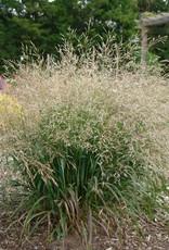 none Panicum virgatum Cape Breeze, Grass - Ornamental Switch, Cape Breeze #1