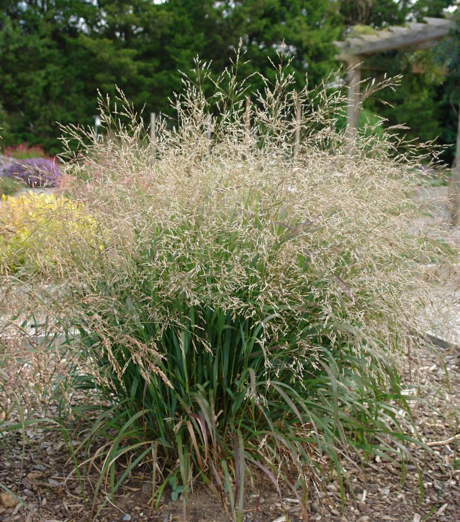 New Panicum virgatum Cape Breeze, Grass - Ornamental Switch, Cape Breeze #1