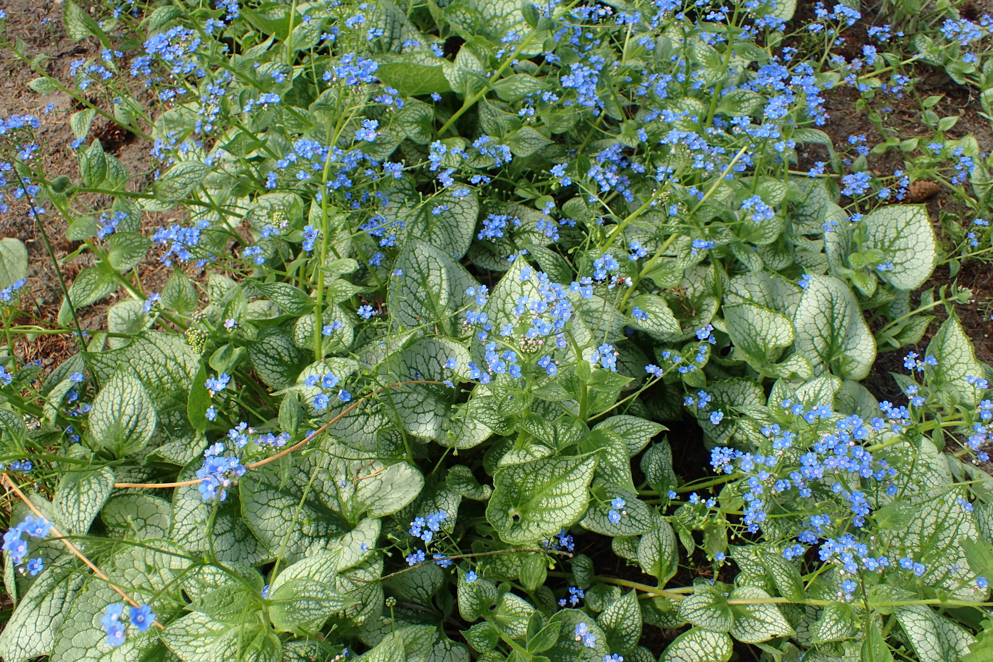 New Brunnera macrophylla Sea Heart, Heartleaf, #1