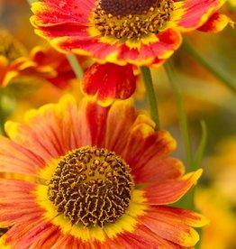 New Helenium Mariachi Fuego Sneezeweed,  #1