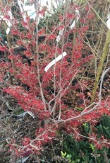 Hamamelis x int. Diane Witch-hazel, Diane, #7