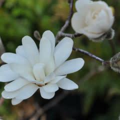 Magnolia stellata Royal Star Magnolia - Star, Royal Star, #10