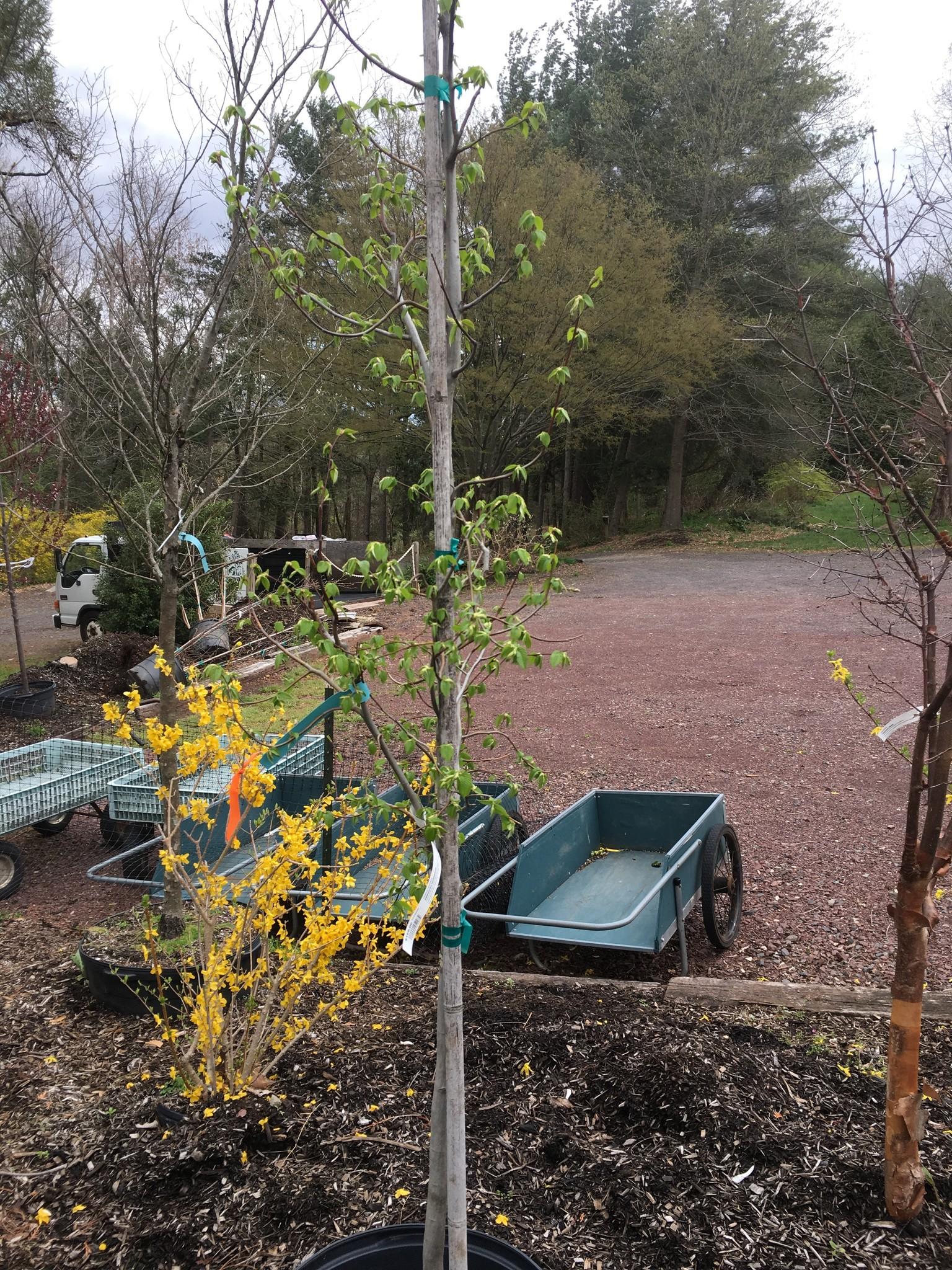 Native Tree Carpinus caroliniana Hornbeam - American, #15