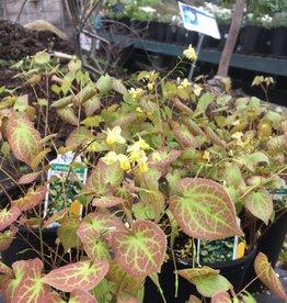 Epimedium ver. Sulphureum Barrenwort, Sulphureum Yellow, #1