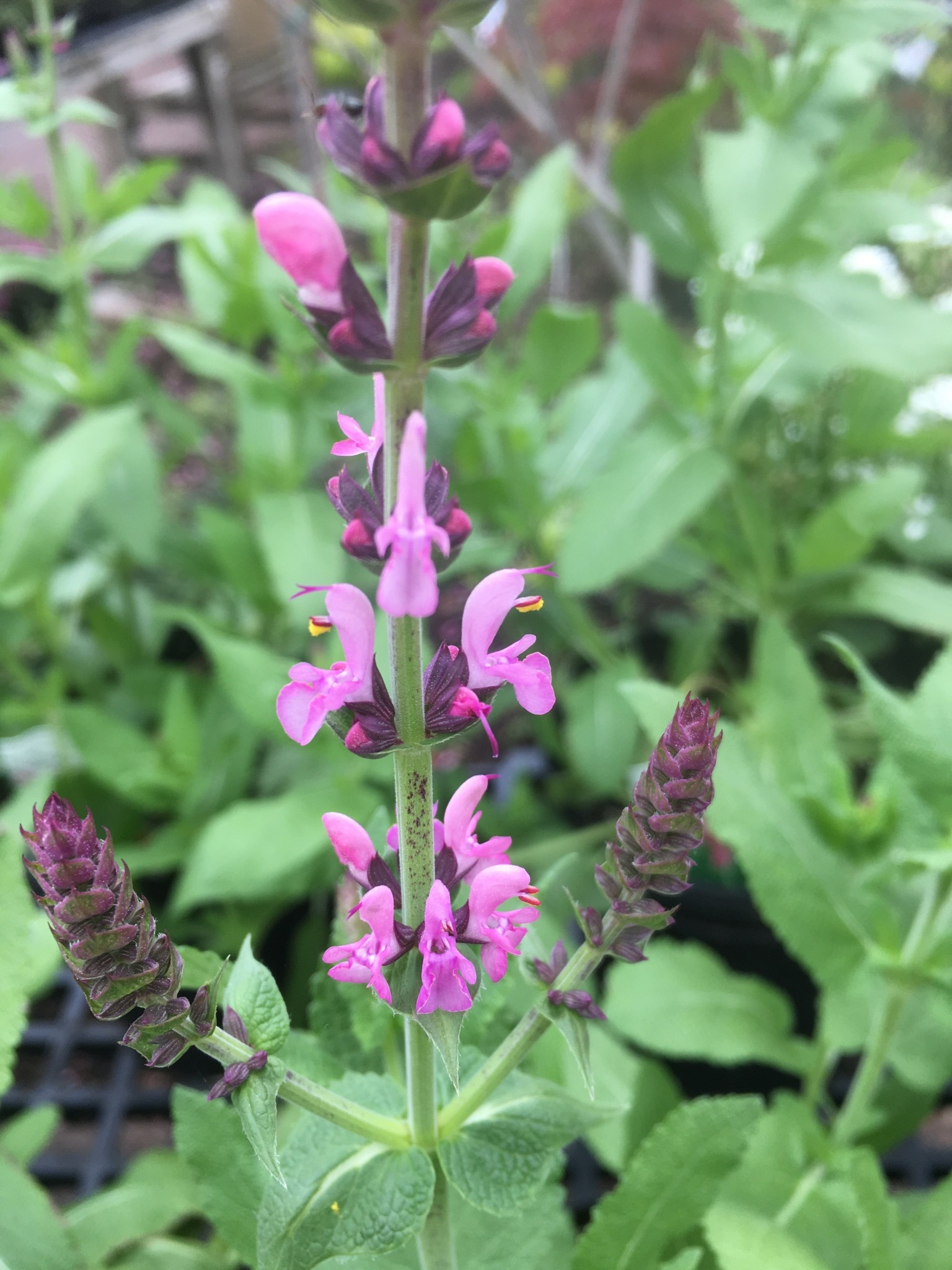 Salvia nem. Sensation Rose Sage - Meadow, Sensation Rose, #1