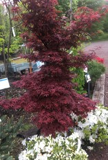 Acer palm. Burgundy Gem, Maple - Japanese,  #10