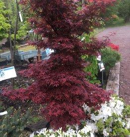 Acer palm. Burgundy Gem, Maple - Japanese,  #10