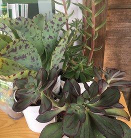 "Cacti/Succulents Cacti/Succulents, 4.5"""
