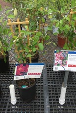 Clematis Regency, Clematis, Flowering, #1