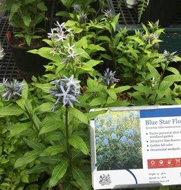 Amsonia tabernaemontana Blue Star, Blue Star #1