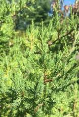 Native Tree Juniperus virginiana Eastern Redcedar, #3