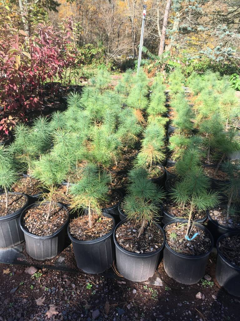 Native Tree Pinus strobus Pine - Eastern White, #3 3-4'