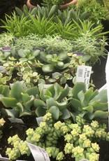 Cacti/Succulents Cacti/Succulents, 1''