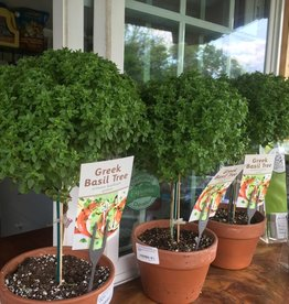 Basil, tree  2qt pot