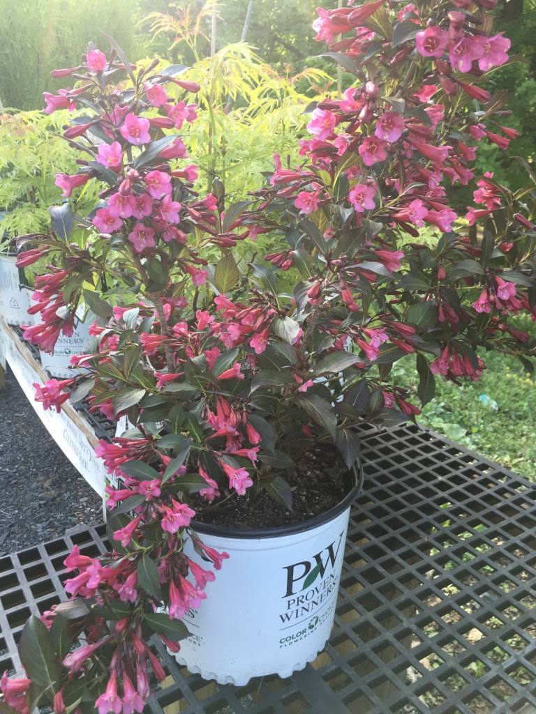 Weigela florida Alexandra Weigela, Wine & Roses, #3