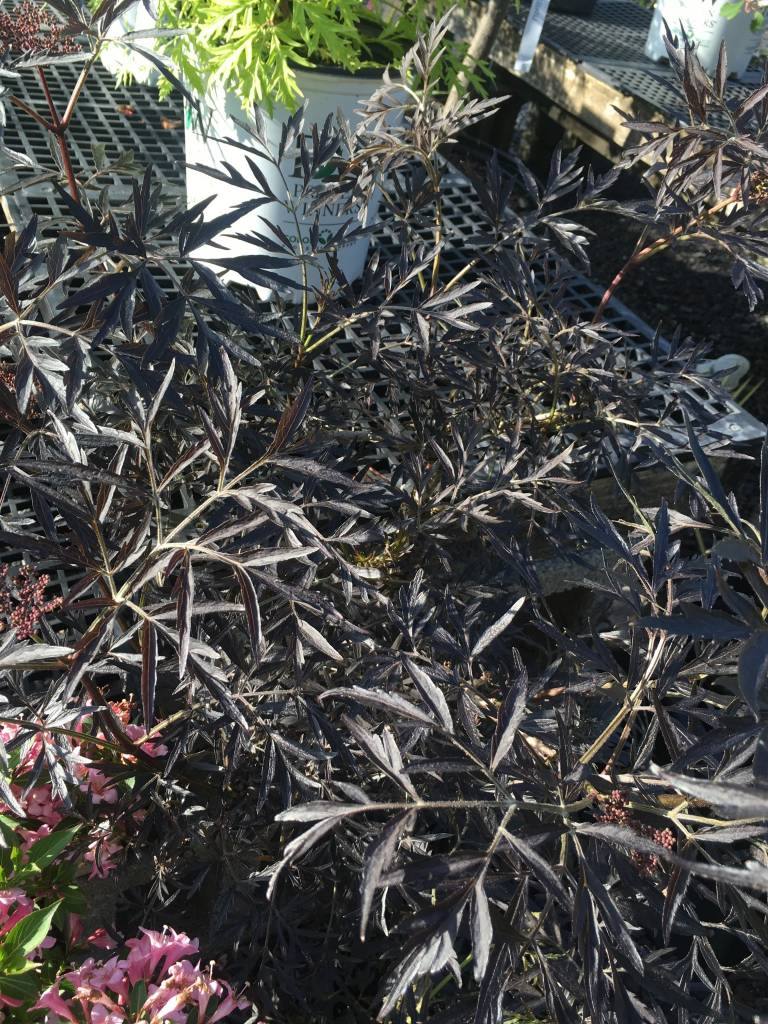 Sambucus nigra Eva Elderberry, Black Lace, #3