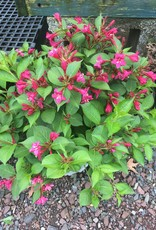 Weigela florida Bokrasopin Weigela, Sonic Bloom Pink, #3
