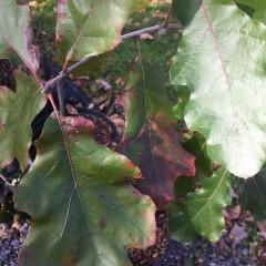 Native Tree Quercus velutina Oak, Black, #3
