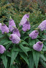 Buddleia x Pugster Amethyst, butterfly bush #3 container