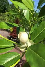 Magnolia virginiana Magnolia - Sweetbay, Moonglow, #15