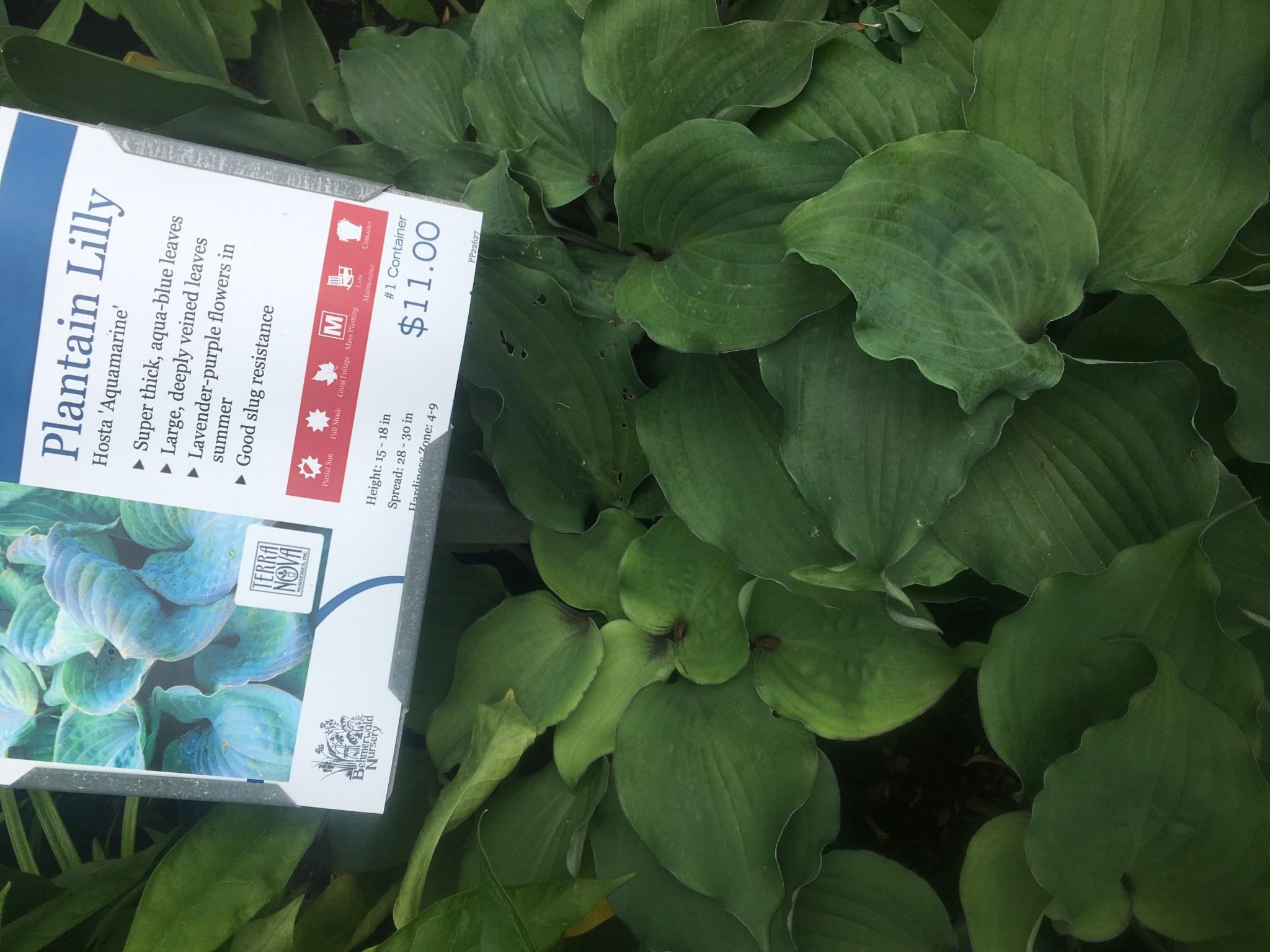 Hosta Aquamarine Plantain Lily,  #1