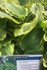 Hosta Seducer, Plantain Lily, #1