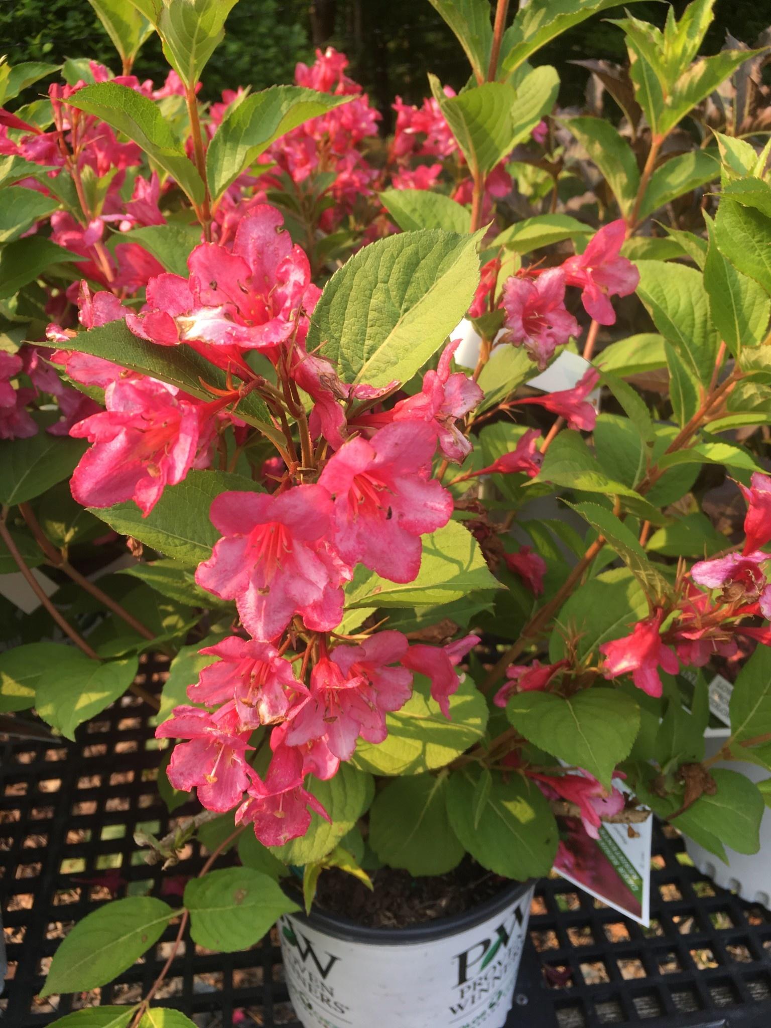 Weigela florida Bokrasopin Weigela, Sonic Bloom Pink, #3