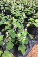Tiarella Wherryi Foamflower, Wherryi, #1