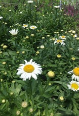 Leucanthemum Snow Lady Daisy - Shasta, Snow Lady, #1