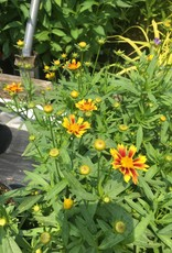 New Coreopsis L'll Bang Enchanted Eve, Tickseed,  #1