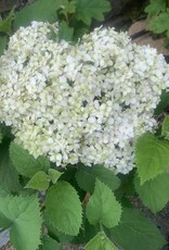 Nativar Shrub Hydrangea arbor. Invincibelle Wee White Hydrangea - Smooth, #3