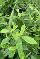 Clethra alnifolia, Summersweet, #3