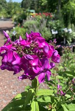 PHLOX paniculata. Purple Kiss, #1