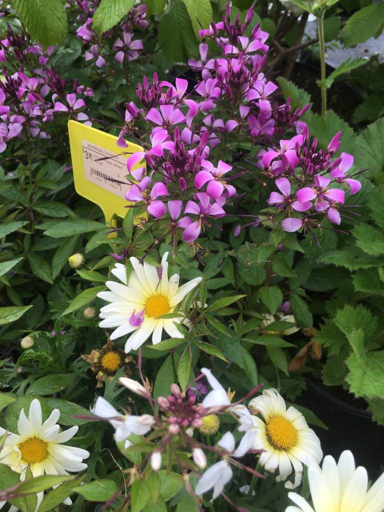 """Annuals, Assorted 4"""" and  4.5"""" pot"""