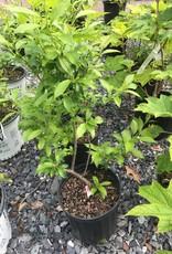 Ilex vert. Winter Red Holly - Winterberry, Winter Red, #2