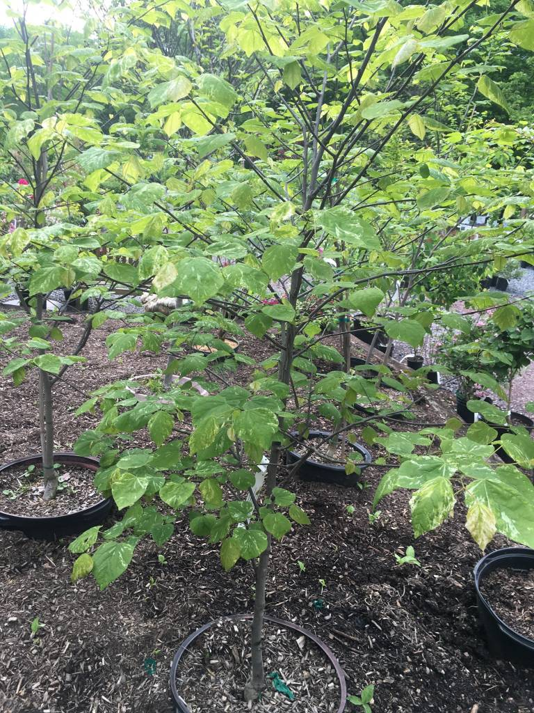 Cercis can. Alley Cat Redbud - Eastern, Alley Cat, #10