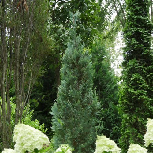 Chamaecyparis law. Pinpoint Blue False Cypress #3