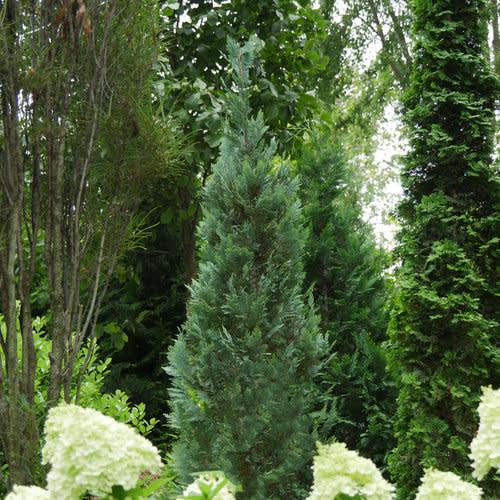 Chamaecyparis law. Pinpoint Blue False Cypress #3