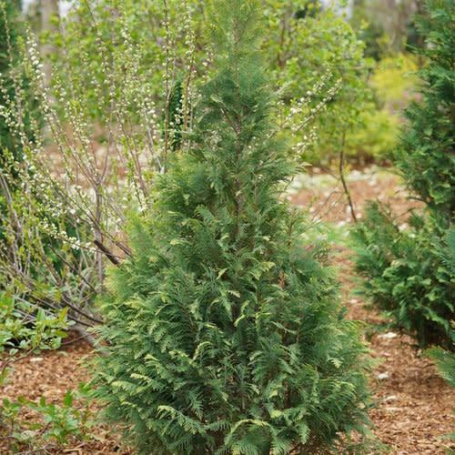 Chamaecyparis law. Pinpoint Blue & Gold False Cypress #3