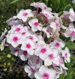 Phlox pan. Cherry Cream Phlox - Garden,  #1