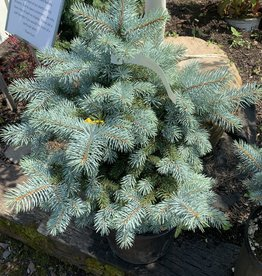 Picea pungens glauca Royal Knight Spruce - Blue  Spruce #3