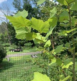 Native Tree Platanus occidentalis Planetree - American, #3